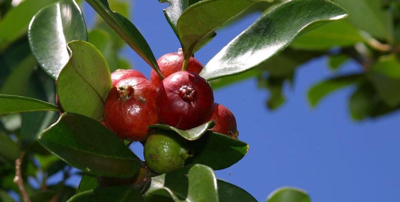 arbre-goyavier